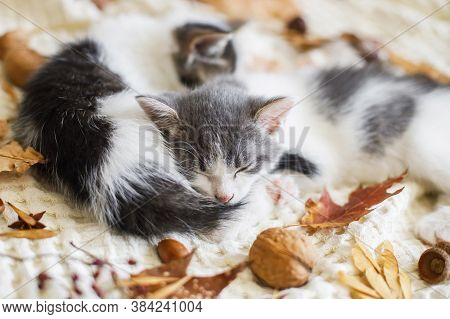 Adorable Kittens Sleeping In Autumn Leaves On Soft Blanket. Two Cute White And Grey Kittens Cuddling