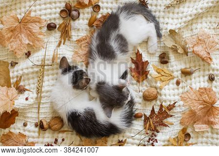 Adorable Kittens Sleeping In Autumn Leaves On Blanket, Top View. Two Cute White And Grey Kittens Cud