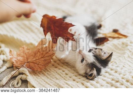 Adorable Kitten Playing With Autumn Leaves On Soft Blanket. Hand Holding Fall Leaf And Playing With