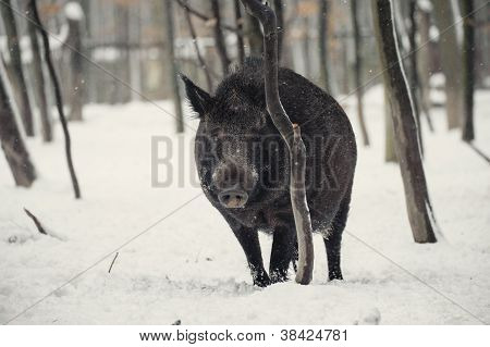 wild boar in the winter frosty forest with snow poster