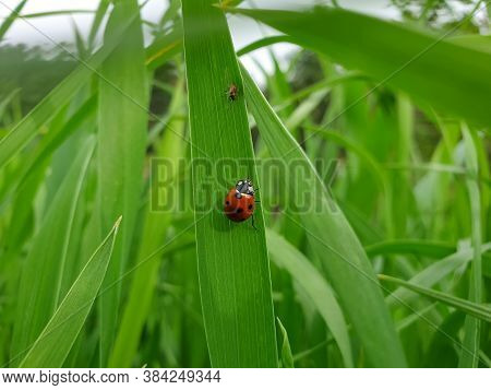 Macro Photography - Photo Of A Ladybug (coccinellidae) In Wheat Plant