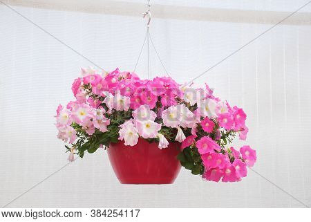 Petunia, Petunias In The Tray,petunia In The Pot, Mixed Color Petunia