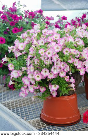 Blurry Petunia, Petunias In The Tray,petunia In The Pot, Pink Petunia