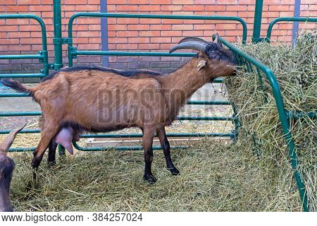 One Brown Goat In Husbandry At Animal Farm