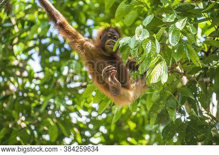 Wild Orangutan In Rainforest Of Borneo, Malaysia. Orangutan Mounkey In Nature