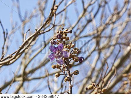 A Foxglove Tree (paulownia Tomentosa) In Flower In Somerset, Uk