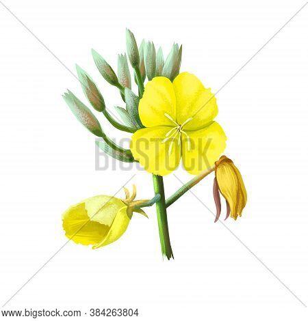 Evening Primrose Oenothera Herbaceous Flowering Plant, Family Onagraceae. Common Evening Primrose, S