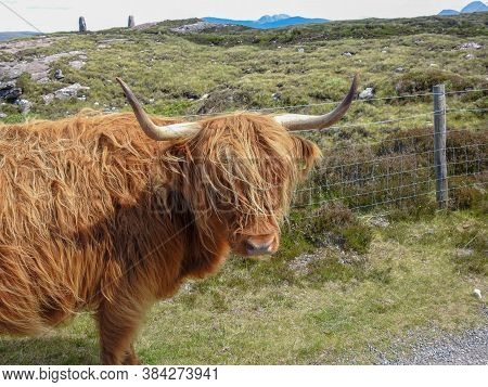 A Long Haired Ginger Highland Cow In Scotland
