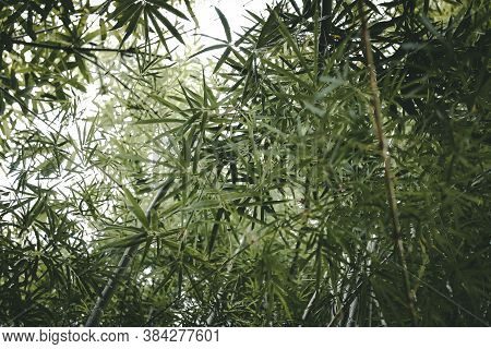 Bamboo Leaves. Under View Of Bamboo Forest. Moody Tone.
