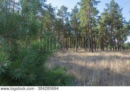 Pine Forest With Tall Conifers And Young Pine In The Foreground Without Focus. Glade With Sunlight I