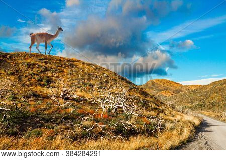 Guanaco grazes on the hill. South America. Patagonia. The magnificent park of Torres del Paine. Dirt road among yellowing grass. The concept of extreme tourism