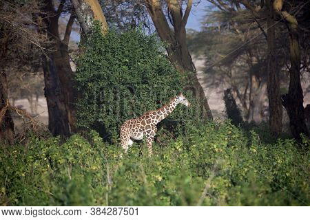 African savannah on the shores of Lake Nakuru. Kenia. Travel to the Horn of Africa. The large picturesque giraffe grazes among the thickets of desert acacia.