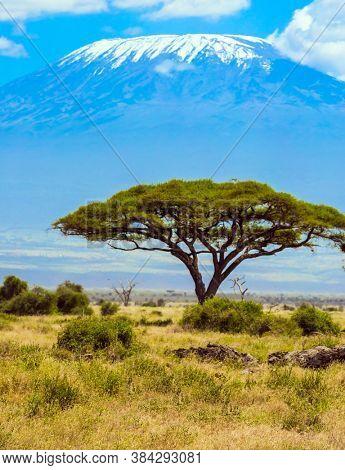 Exotic trip to Africa. Southeast Kenya, the unique Amboseli park. Magnificent unique peak is Mount Kilimanjaro with a snow cap. Desert flat top acacia