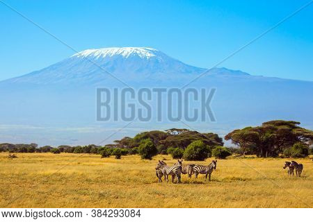 Herd of adorable striped zebras graze at the foot of Mount Kilimanjaro. Trip to the Horn of Africa, Kenya. Southeast Kenya, the unique Amboseli park