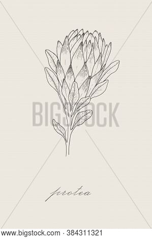 Outline Of Protea. Protea Illustration Isolated On White Background