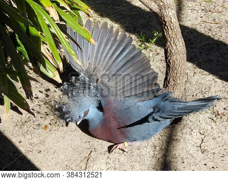 Victoria Crowned Pigeon (goura Victoria) Taking A Sand Bath