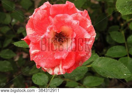Close-up Of Single White & Red/pink Garden Rose (rosa) With Water Drops