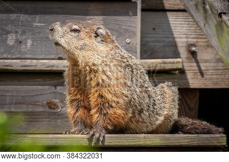 A Large Groundhog Appears To Stand Guard On The Steps. Raleigh, North Carolina.