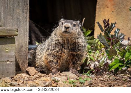 An Adorable Groundhog Kit Peers Out From Beneath A Deck. Raleigh, North Carolina.