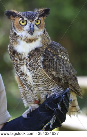 Portrait Of An Owl Virginianus, Horned Owl Or American Eagle Owl Posing On One Hand