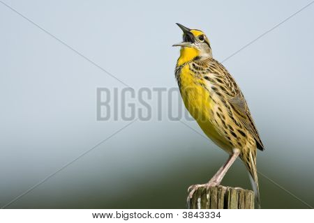 An Eastern Meadowlark Singing From A Fence Post