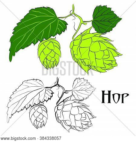Vector Illustration Of A Hop Plant. Linear And Color Drawing Of Hops.