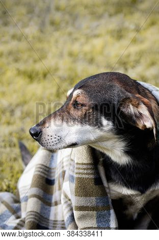 Sad Dog Wrapped In Plaid Blanket, Sitting On Grass. Autumn Photo Of Walking Pet. Close Up. Copy Spac