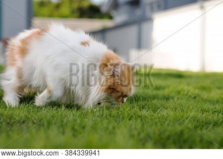 The Cute Persian Cat Is Smelling A Green Grass Field, For Pet Natural Medical And Organic Concept, S