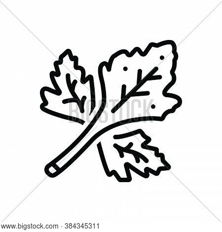 Black Line Icon For Coriander Herb Leaf Fresh Food Foliage Flavour Natural Seasoning Vegetable Agric