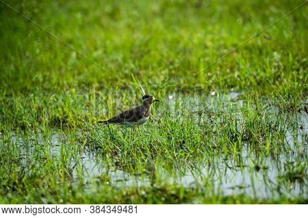 Yellow Wattled Lapwing Or Vanellus Malabaricus Portrait In Natural Green Grass And Wetland Of Keolad