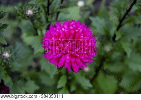 Flower Astra Magenta Color On The Green Leaves Background. Top View Of Beautiful Astra.