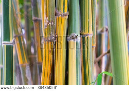 Asia Bamboo Branch In Bamboo Forest, Beautiful Green Nature Background.