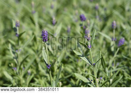 Common Lavender Leaves - Latin Name - Lavandula Angustifolia (lavandula Officinalis)