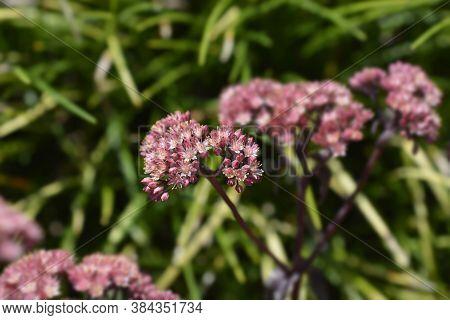 Orpine Purple Emperor - Latin Name - Hylotelephium Telephium Purple Emperor (sedum Telephium Purple
