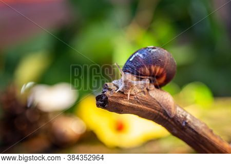 Large Snail On A Tree Branch. Burgudian, Grape Or Roman Edible Snail From The Helicidae Family. Air-