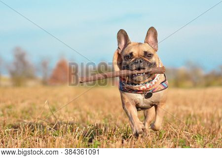Happy Small Brown French Bulldog Dog Wearing A Scarf Around Neck Running Towards Camera Playing Fetc
