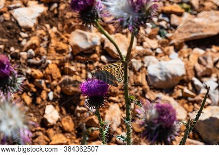 Detail Of A Butterfly Pollinating A Thistle Plant With Lilac Flowers On A Hot Summer Day In Cataloni