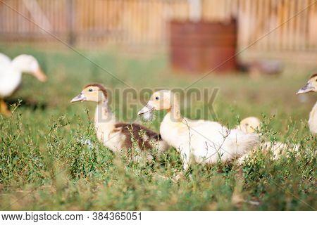 Little Yellow Duckling In Green Grass Exploring Territory Lost Mom Cute Little Newborn Duckling Stan