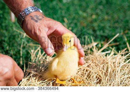 A Little Duckling Sits In The Palm Of A Man. A Livestock Breeder At The Farm Holds A Yellow Duckling