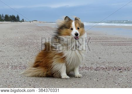 Shetland Sheepdog Sheltie Dog On A Beach Walk