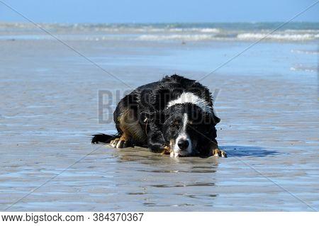Happy Kelpie Working Dog On A Beach Walk