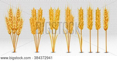 Wheat Ears With Grains On Transparent Background. Yellow Whole Stalks Wheat, Organic Product, Agricu