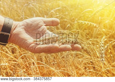 Crop Protection. Cultivated Agricultural Wheat Field. Sun Light, Backlit. Wheat Ears In Mans Hands.
