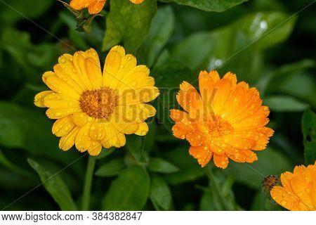 Orange Camomile Flower Bed In Garden Macophoto