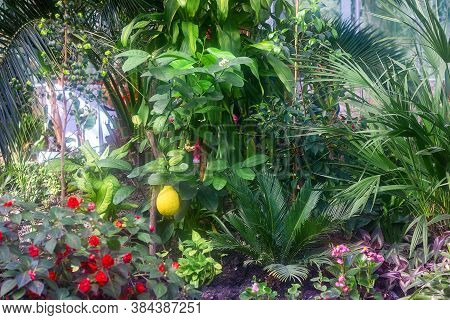 Yellow Ripe Lemon Grows On A Branch In A Greenhouse With Other Plants, A Slight Haze From Humidity