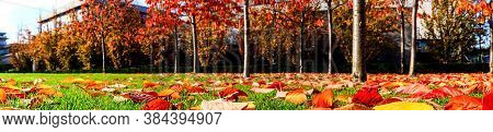Panorama Of Autumn Leaves. Autumn Panorama Of The Golden Cherry Leaves In A Small Park, Dublin, Irel