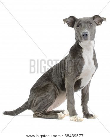 Hound/pitbull/weimaraner Mix Puppy Isolated On White Background