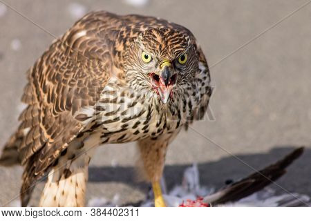 The Gaze Of A Young Goshawk Holding Its Prey With Sharp Claws.