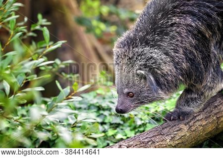Binturong, Arctictis binturong, walking down a tree branch. Also known as a bearcat, this animal is indigenous to South and South East Asia and is vulnerable in the wild.