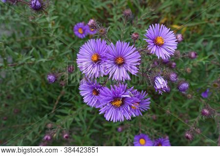 Bright Purple Flowers Of New England Aster In September